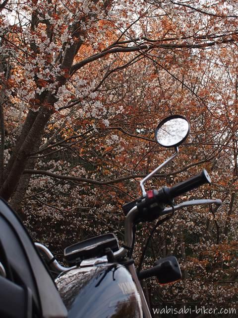バイクと山桜