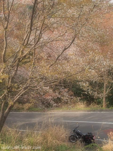 山桜とオートバイ