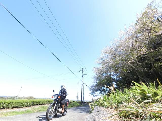 桜咲く茶畑を見下ろすバイク乗り