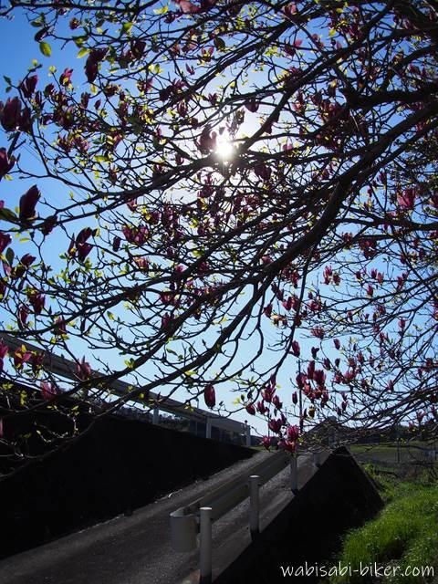 陽射しとモクレンの花