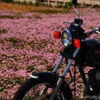 レンゲ畑とバイク