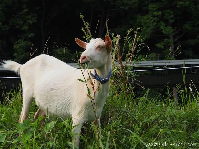 草を食むヤギ
