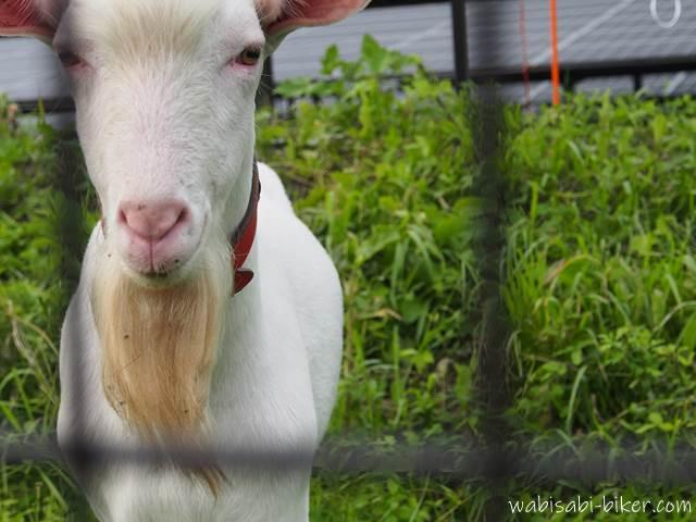 メガソーラー施設内のヤギ