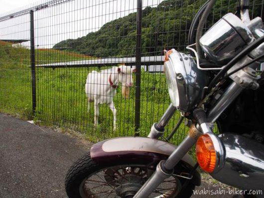 オートバイとメガソーラー施設内のヤギ
