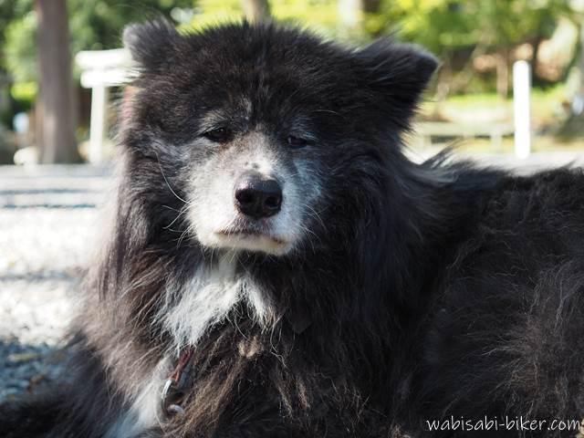 長毛の秋田犬