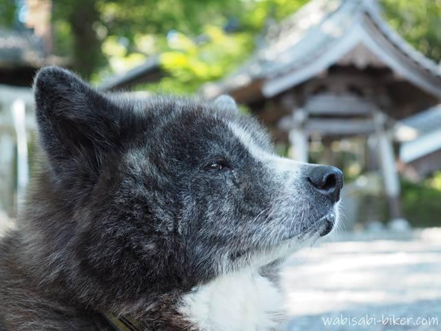 遠い目をした秋田犬