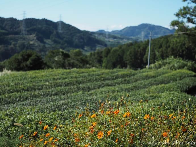 キバナコスモスと茶畑