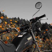バイクとコスモス