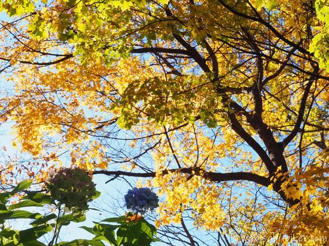 定山渓 見返り坂の紅葉と紫陽花