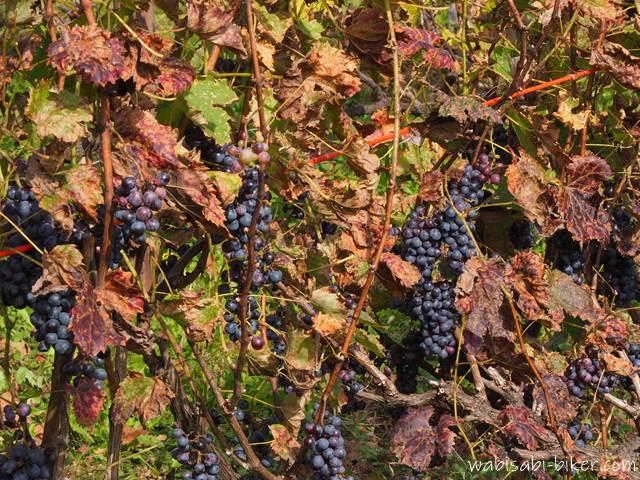 八剣山ワイナリーのブドウ