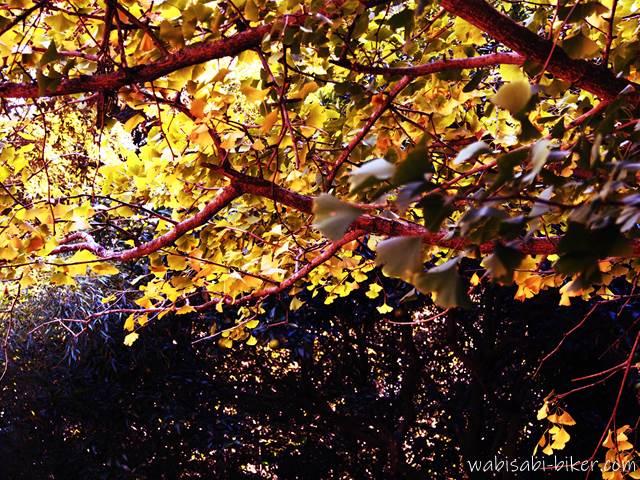 地蔵峠 イチョウの黄葉