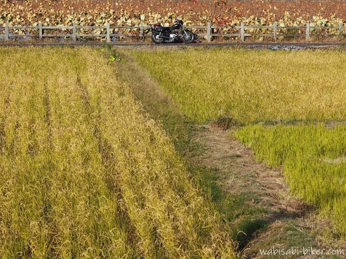 稲刈り後の稲と蓮池とオートバイ
