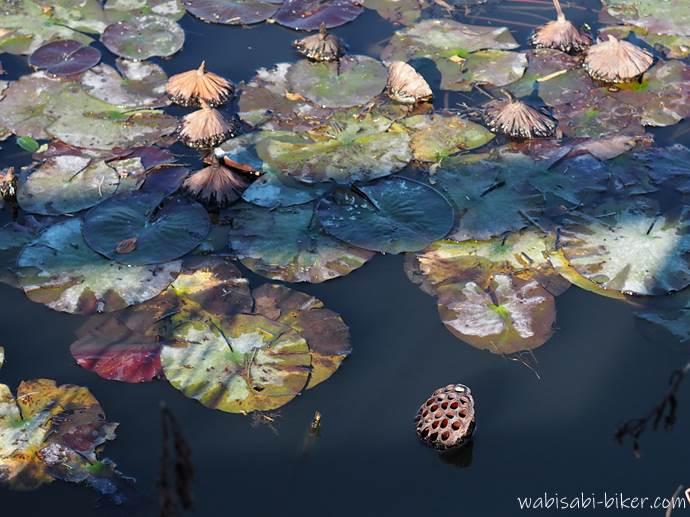 立冬の蓮池