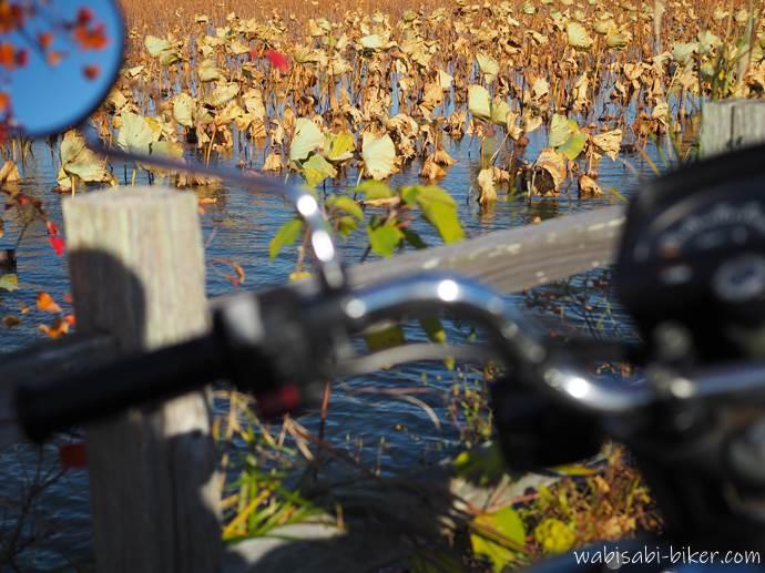 秋の蓮池とバイク