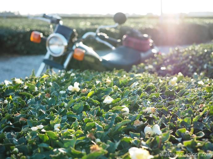 お茶の花とオートバイ
