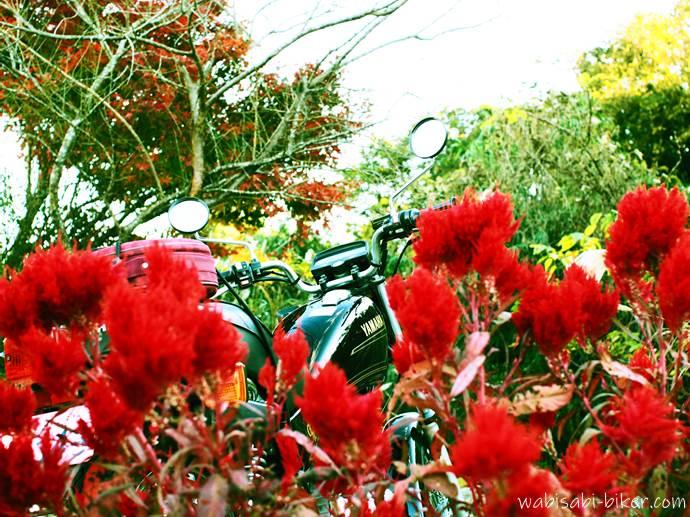 ケイトウとオートバイ