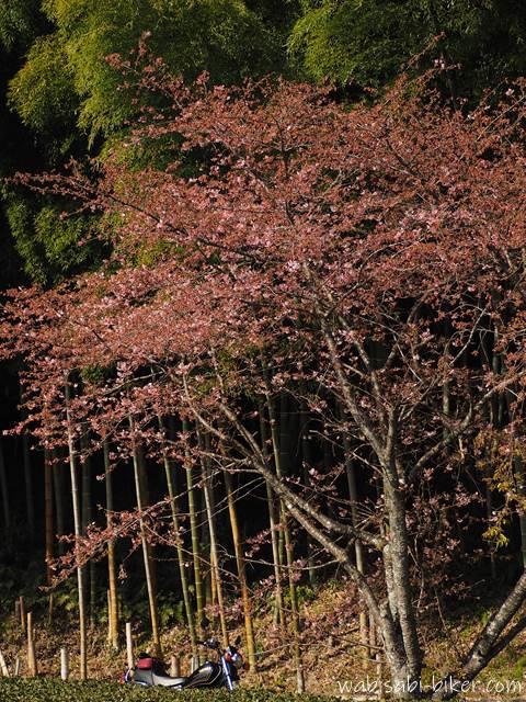 早咲き桜とバイク