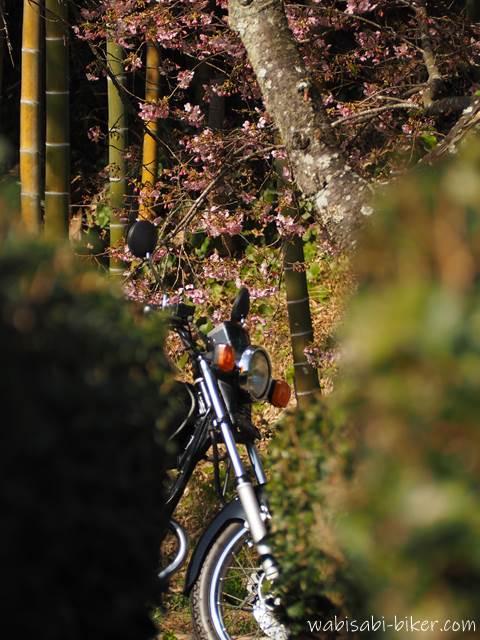 茶畑から覗くオートバイと桜