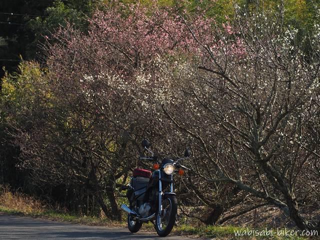 バイクと紅白の梅