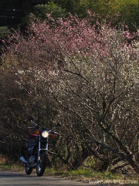 紅白の梅とオートバイ