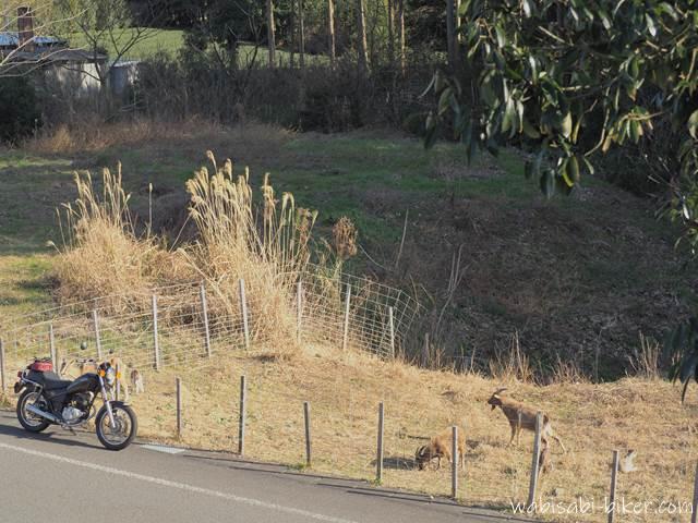 放し飼いのヤギとオートバイ