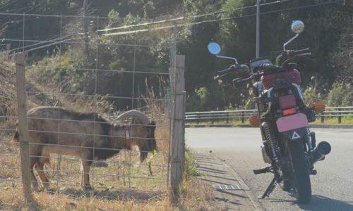 ヤギとバイク