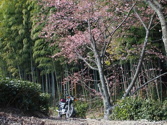 咲き始めの早咲き桜とオートバイ