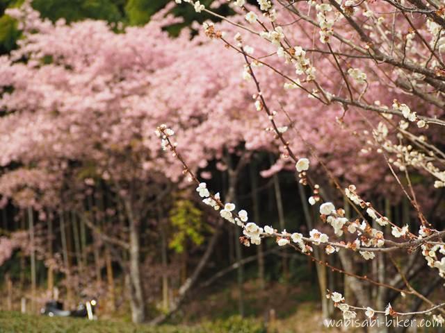梅と早咲き桜とオートバイ