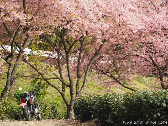 満開の早咲き桜とオートバイ