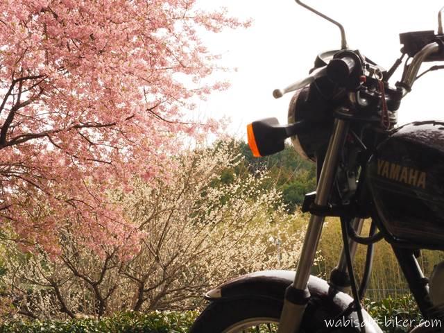 早咲き桜と梅とオートバイ