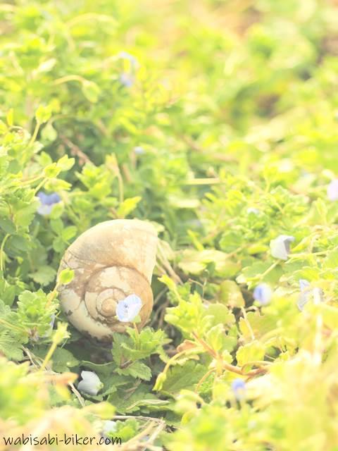 タニシの殻とオオイヌノフグリ