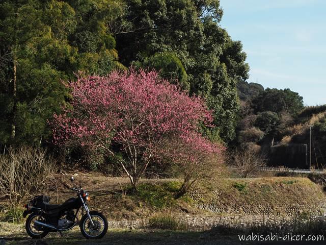 花桃とオートバイ