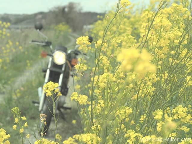 ダートに咲く菜の花とオートバイ