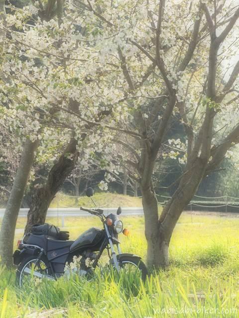 白い桜とオートバイ