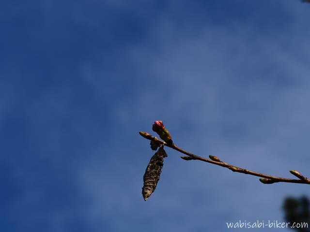 桜の蕾とミノムシ