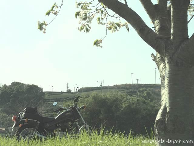 白い桜と茶畑とオートバイ