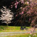 しだれ桜とバイク写真撮影を楽しむ