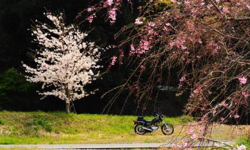 一本桜としだれ桜とバイク