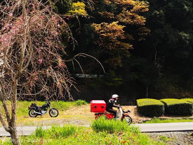 桜と茶畑のある道を走る郵便配達員