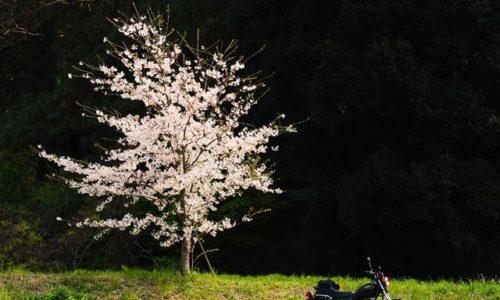 1本桜とオートバイ