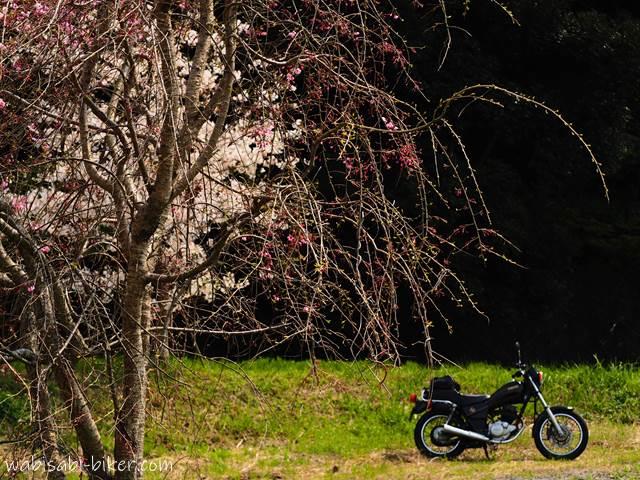 重なった一本桜としだれ桜とバイク