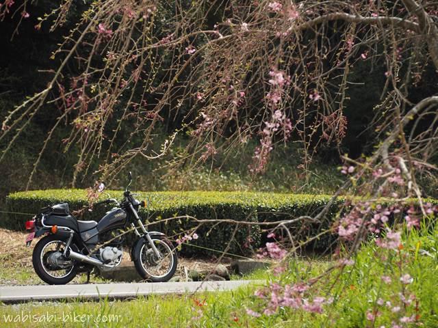 しだれ桜とバイクと茶畑