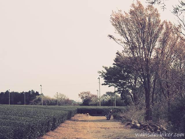 散り始めの桜とバイクと茶畑