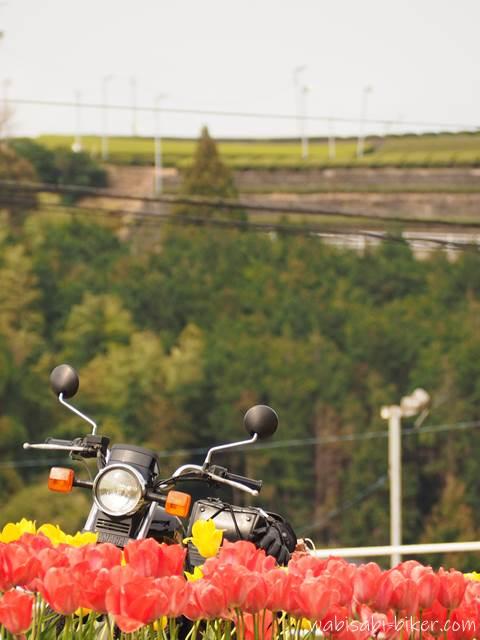 チューリップとバイクと茶畑