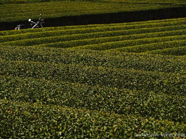 茶畑の中のバイク