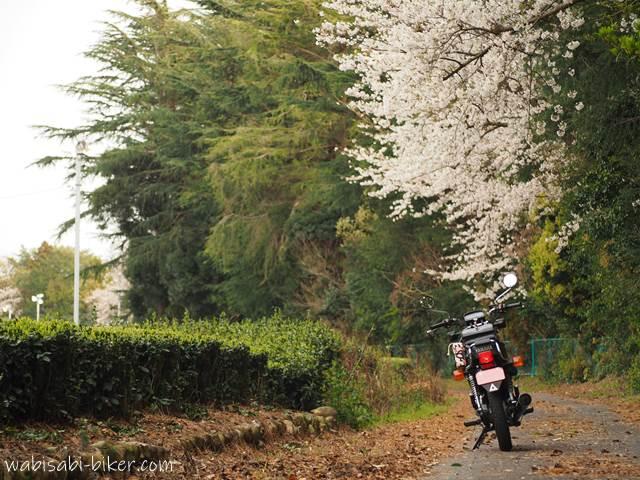 桜と茶畑とバイク