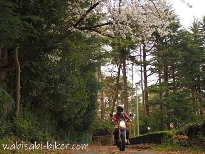 桜の下を走る女性ライダー