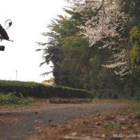 桜と茶畑のある小道を走る女性ライダー