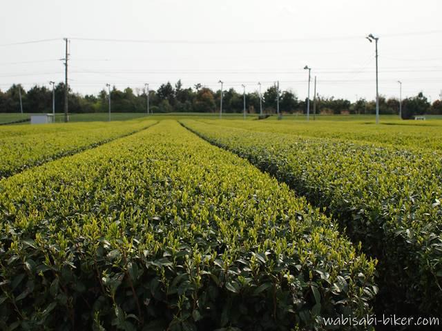 茶畑の新芽