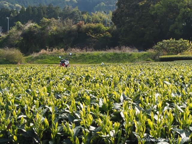茶畑の新芽とバイク